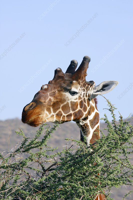 Giraffe feeding on acacia leaves