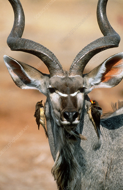 Kudu and oxpeckers