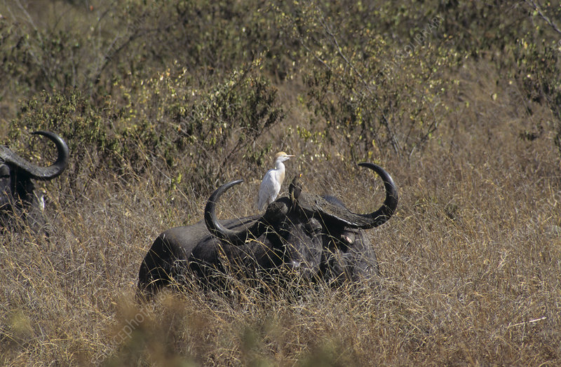 African buffalo and cattle egret