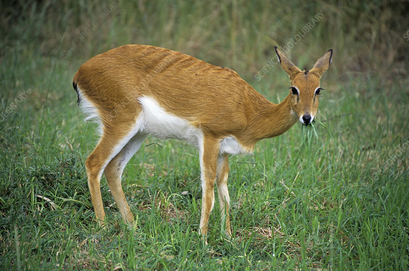 Female oribi