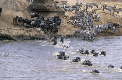 Blue wildebeest and zebras