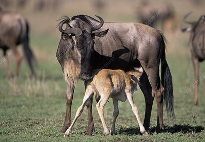 Young blue wildebeest nursing