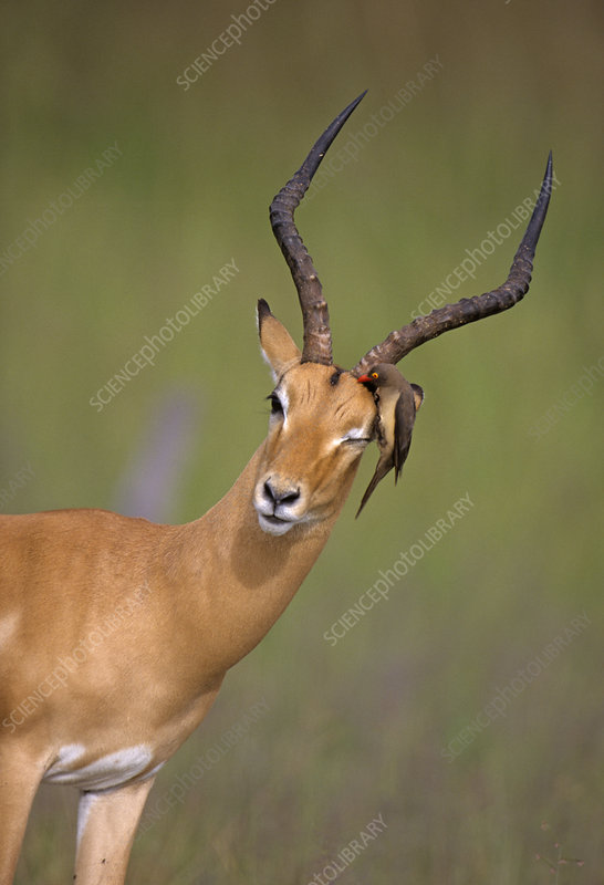 Impala and oxpecker
