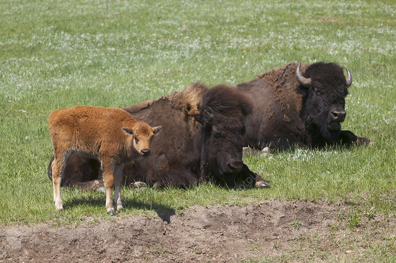 American Bison with calves