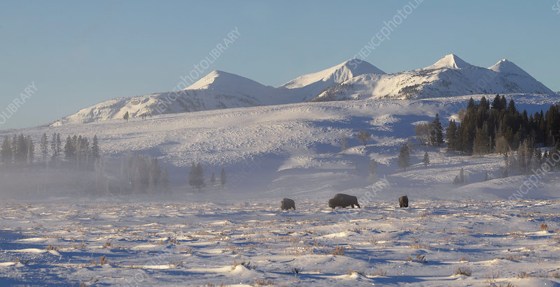 Bison herd in Yellowstone