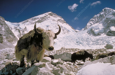 Yaks, Mt. Everest Base Camp