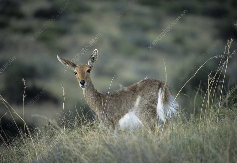 Female mountain reedbuck