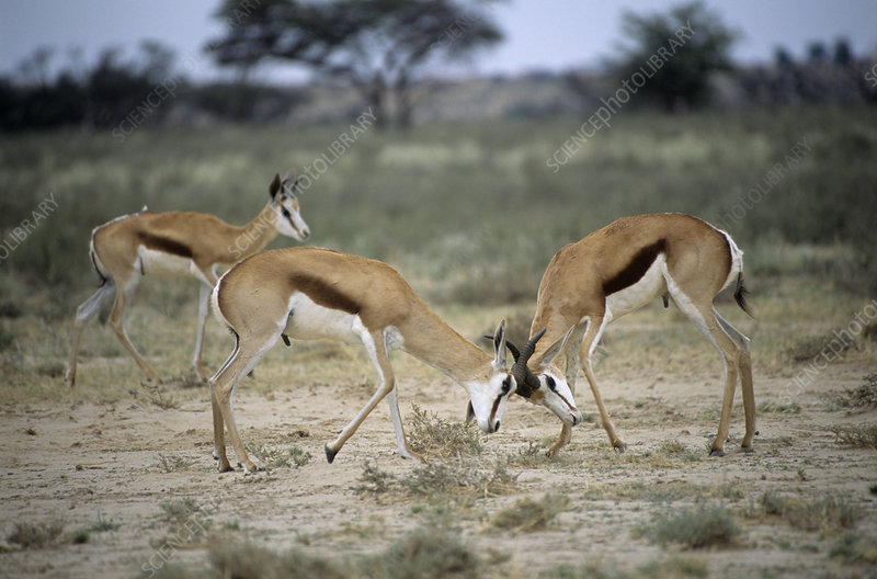 Male springbucks fighting