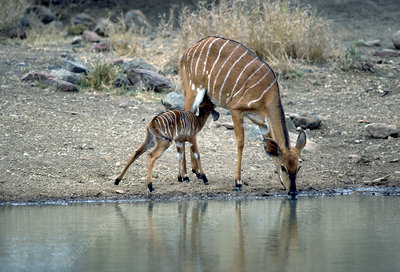 Nyala calf nursing