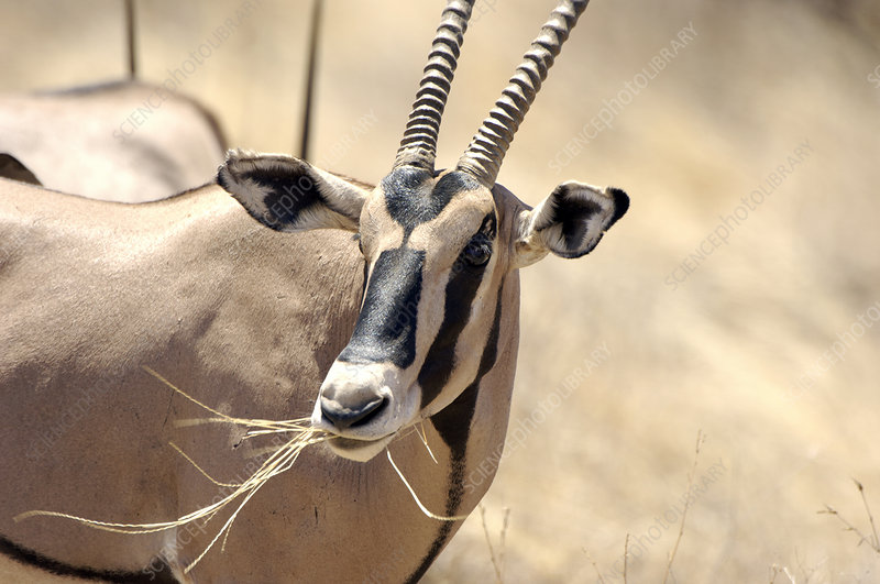Male gemsbok feeding