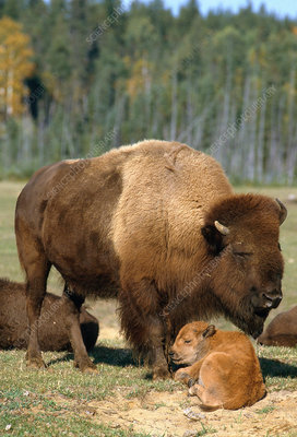 Buffalo with calf resting