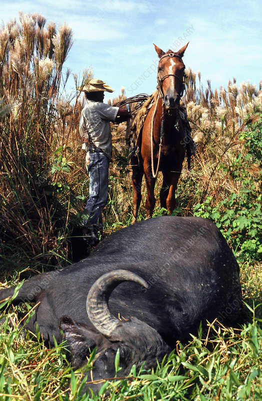 Gaucho with a dead wild buffalo