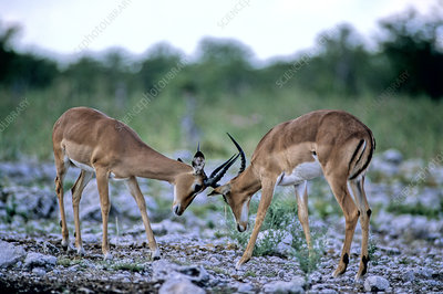 Black-faced Impalas sparring