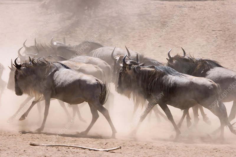 'Wildebeest kicking up dust, Masai Mara'
