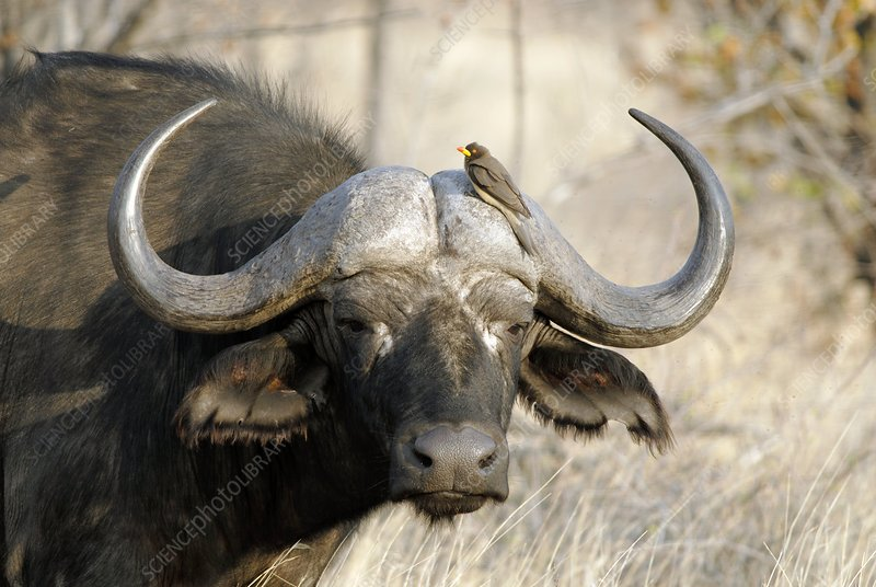 Cape buffalo and yellow-billed oxpecker