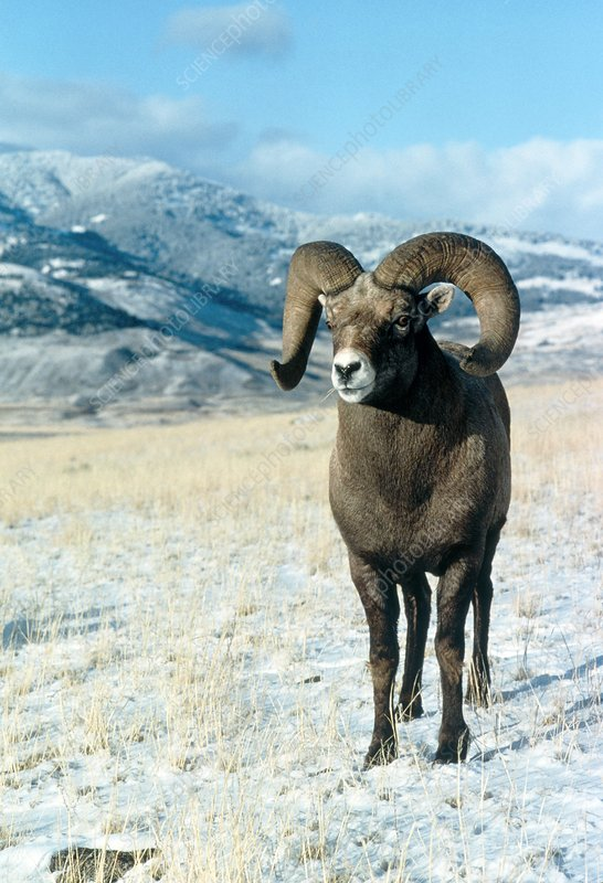 View of an American bighorn ram, Ovis canadensis
