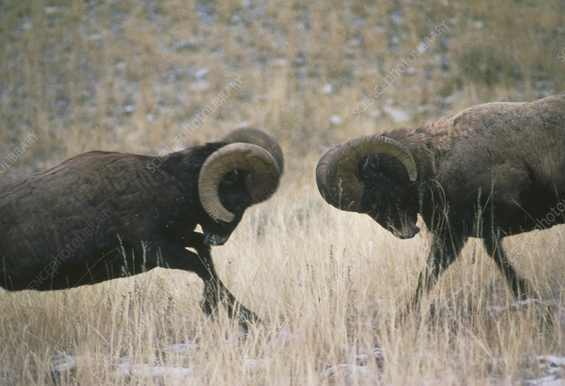 American bighorn rams, Ovis canadensis, fighting