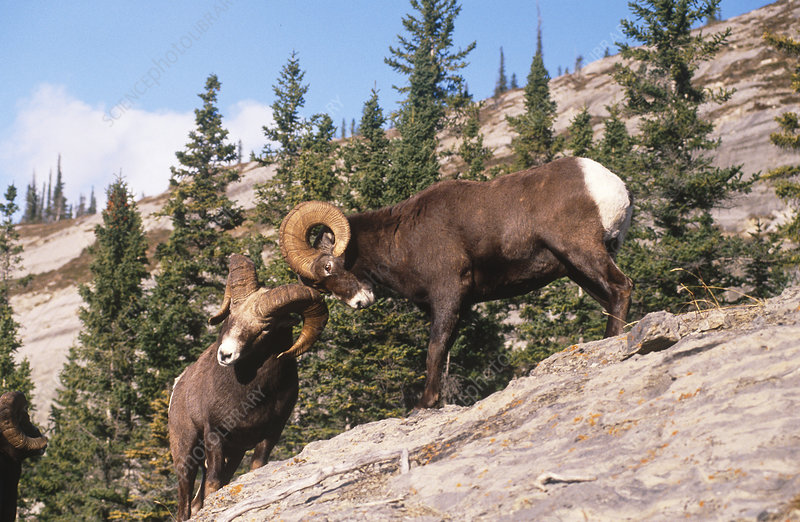 Rocky Mountain Bighorn rams butting heads