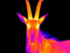 Ibex, thermogram