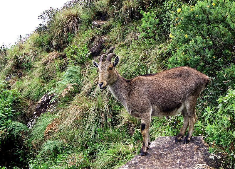 Female nilgiri tahr