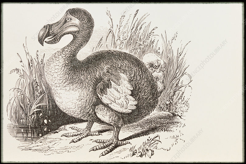 Engraving of the extinct dodo