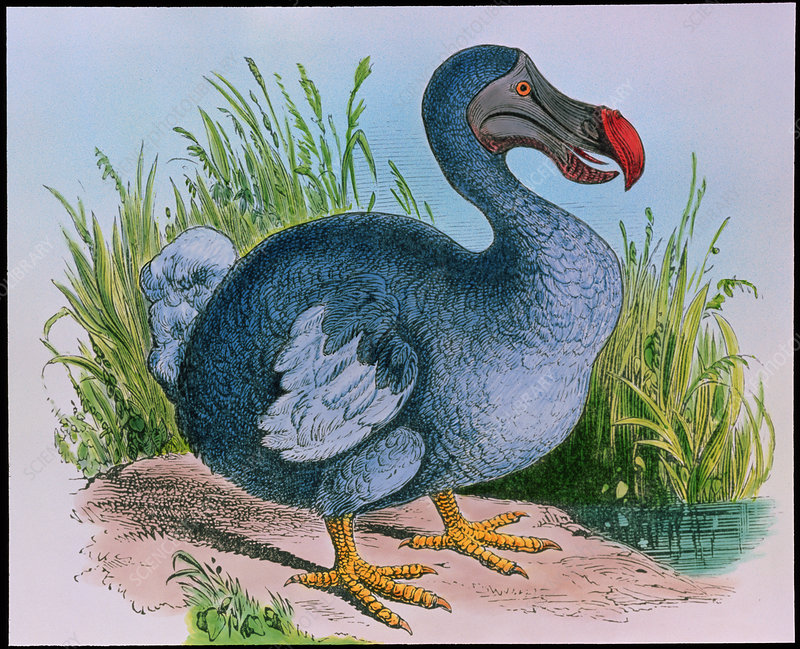 Extinct dodo