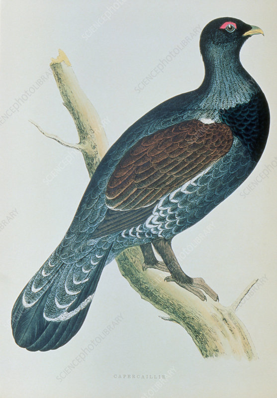 Illustration of extinct UK race of capercaillie