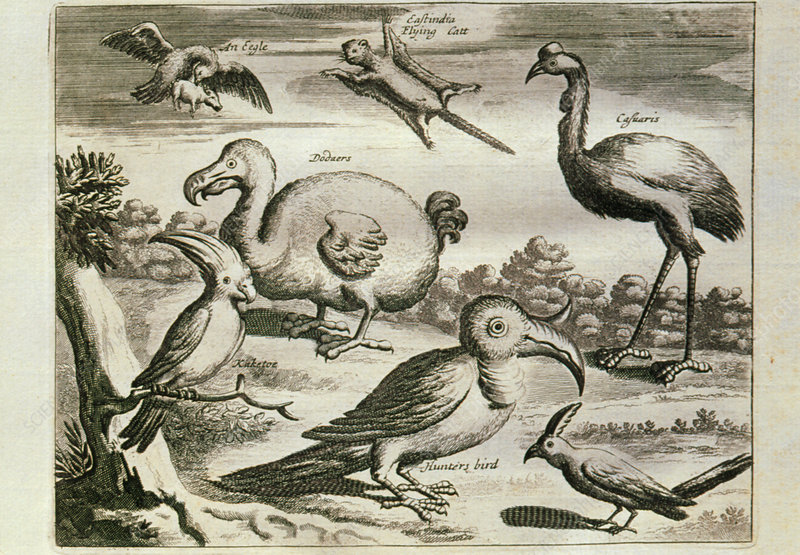 Historical engraving of a Dodo and other birds
