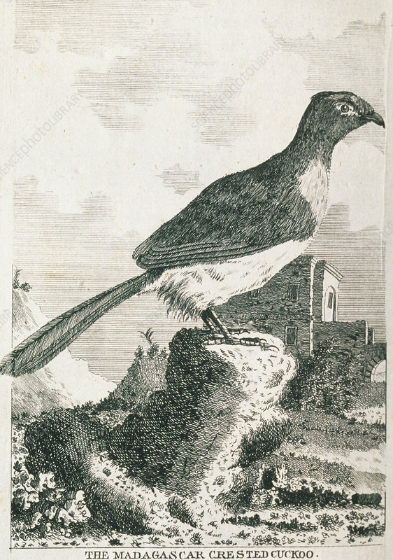 Historical art of crested cuckoo (Coua sp.)