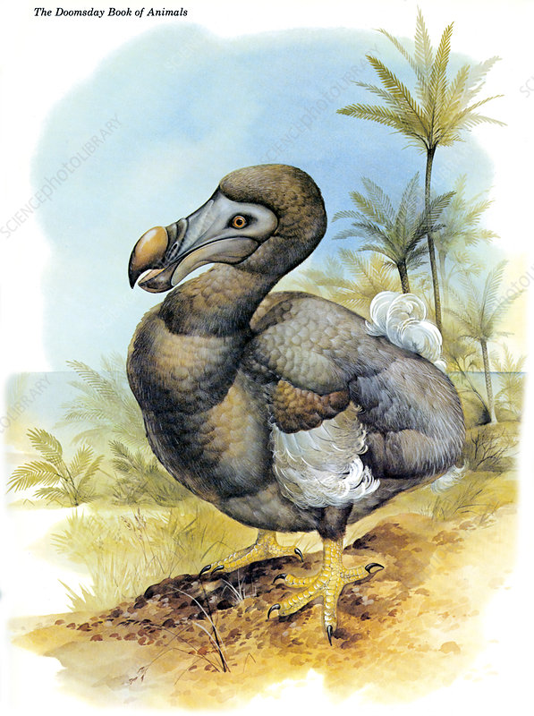 Common Dodo