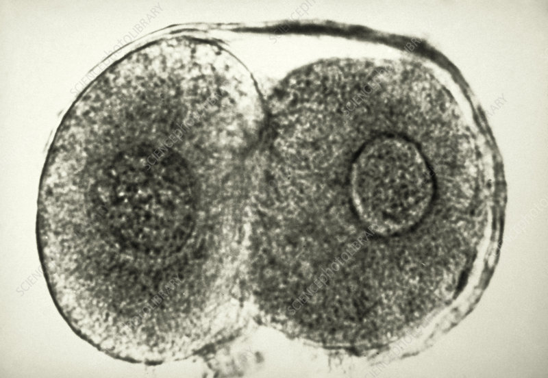 Two-cell embryo - Stock Image - P680/0905 - Science Photo Library