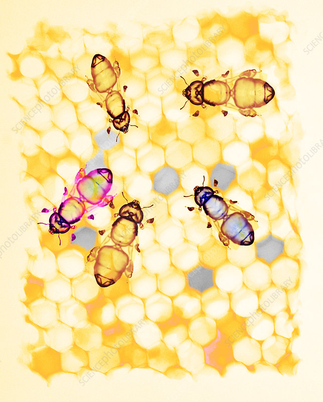 Honey bees, coloured X-ray - Stock Image - Z345/0942