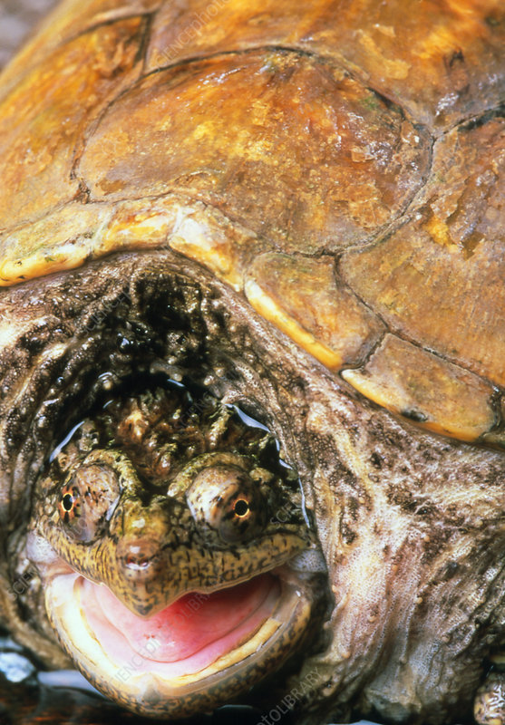 Snapping turtle - Stock Image - Z752/0020 - Science Photo Library