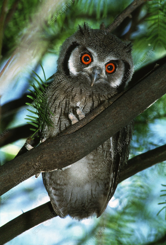White faced scops owl